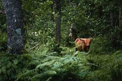 Schottisches Dschungelrind