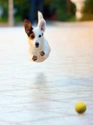 Dog runs fun and happy playing with ball outdoors