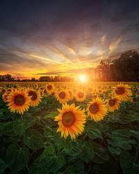 Sonnenblumen am Abend