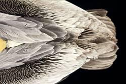 Die Struktur eines Pelikans aus der Vogelperspektive ;-)