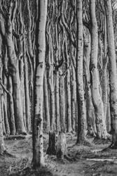 Gespensterwald Nienhagen an der Ostsee