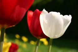 Die weiße Tulpe