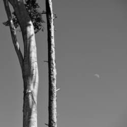 Buche, Kiefer, Mond