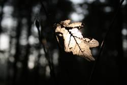 Eichenblatt in der Sonne