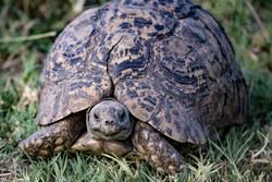 Portrait Landschildkröte