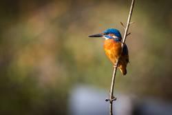 The Kingfisher ( Eisvogel )