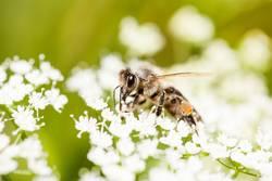 Die Bienen genießen den Sommer