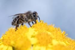 Biene im gelben Meer