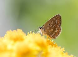 Schmetterling im gelben Nektarmeer