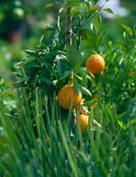 orangenstrauch