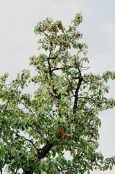 Kirschen mit Baum
