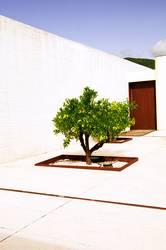 Zitronenbaum im Garten