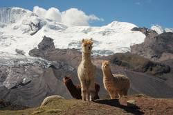 Hello Lamas.