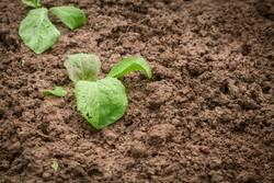 Neues Gemüse wächst im garten