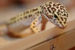 .:Leopardengekko:. #3