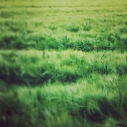 Feld.Grün.Mohn.