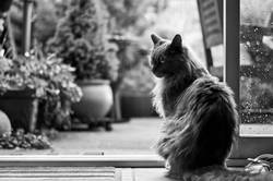 melancholy maine-coon