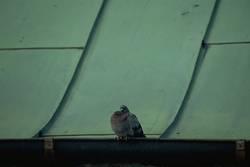 Taube auf Blechdach