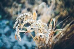 Weizen I