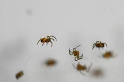 Arachnodingsda