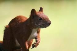 A Hörnchen !