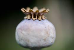 Dry poppy head