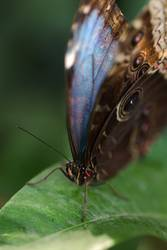 Blue morpho butterfly seats on green leaf extreme macro portrait
