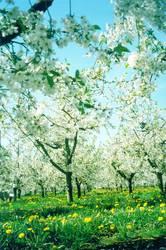 Sakura in Werder...