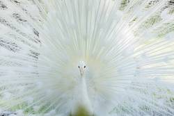 Amazing white peacock opening its tail