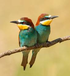 Couple of bee-eaters perched on a branch