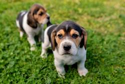Beautiful beagle puppies on the green grass