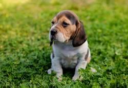 Beautiful beagle puppy on the green grass