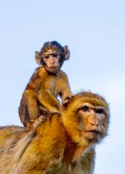 Mom monkey with her son