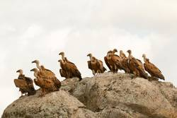 Vultures on a big rock with the cloudy sky in the background