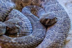 Dangerous snake with brown colors