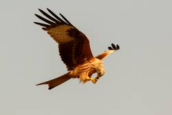 Awesome bird of prey in flight with the sky of background