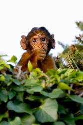 Funny small monkey behinde many leaves