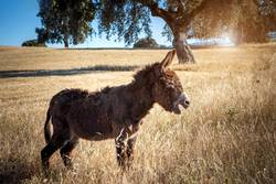 Beautiful brown donkey