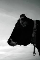 cow_two