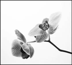 orchidäles 4
