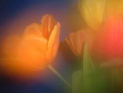 Portrait einer Tulpe3