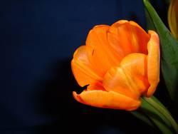 Portrait einer Tulpe1