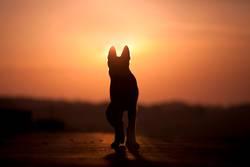 Hunde Silhouette im Sonnenuntergang