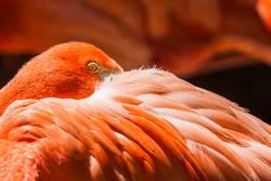 Flamingo-Portrait