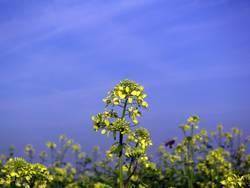 Gelbe Blume #2