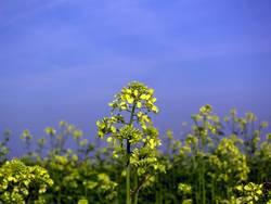 Gelbe Blume #1