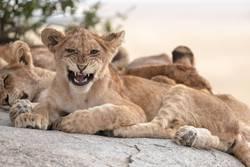 Löwenkinder /Safari Africa /Tanzania