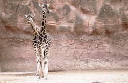 zwei stehende Giraffen