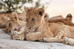 Eine Gruppe kleiner Löwen, die auf dem Felsen liegen