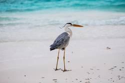 stehender Fischreiher am Strand